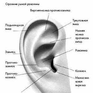 строение наружного уха