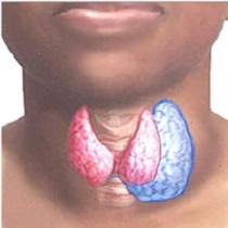 Щитовидная железа в проекции